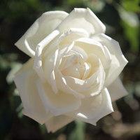 (保加利亞)(有機)白玫瑰花水純露1L (美白淡斑 抗老化)